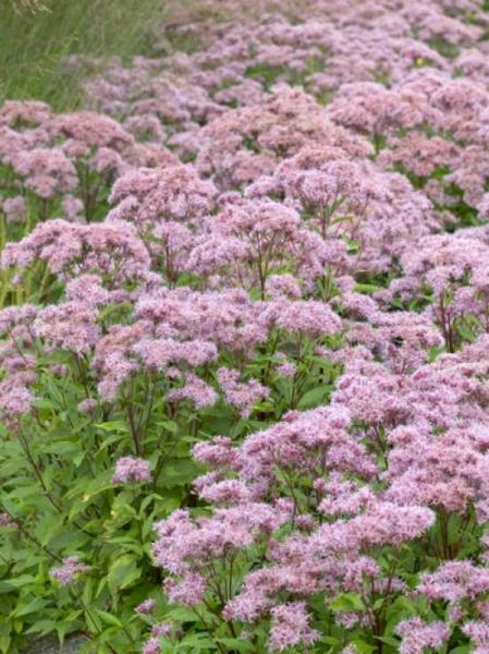 Eupatorium maculatum 'Purple Bush' / Kleiner Purpurdost