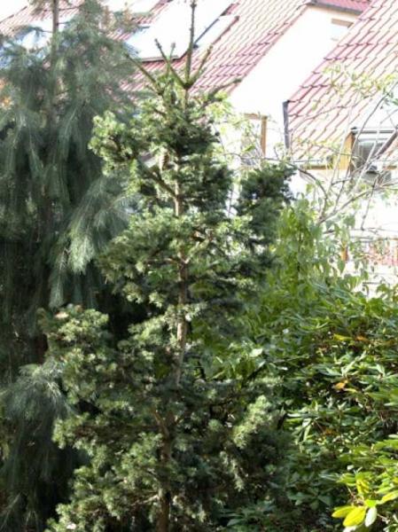 Picea abies 'Lombarts' / Lockere Kegel-Fichte