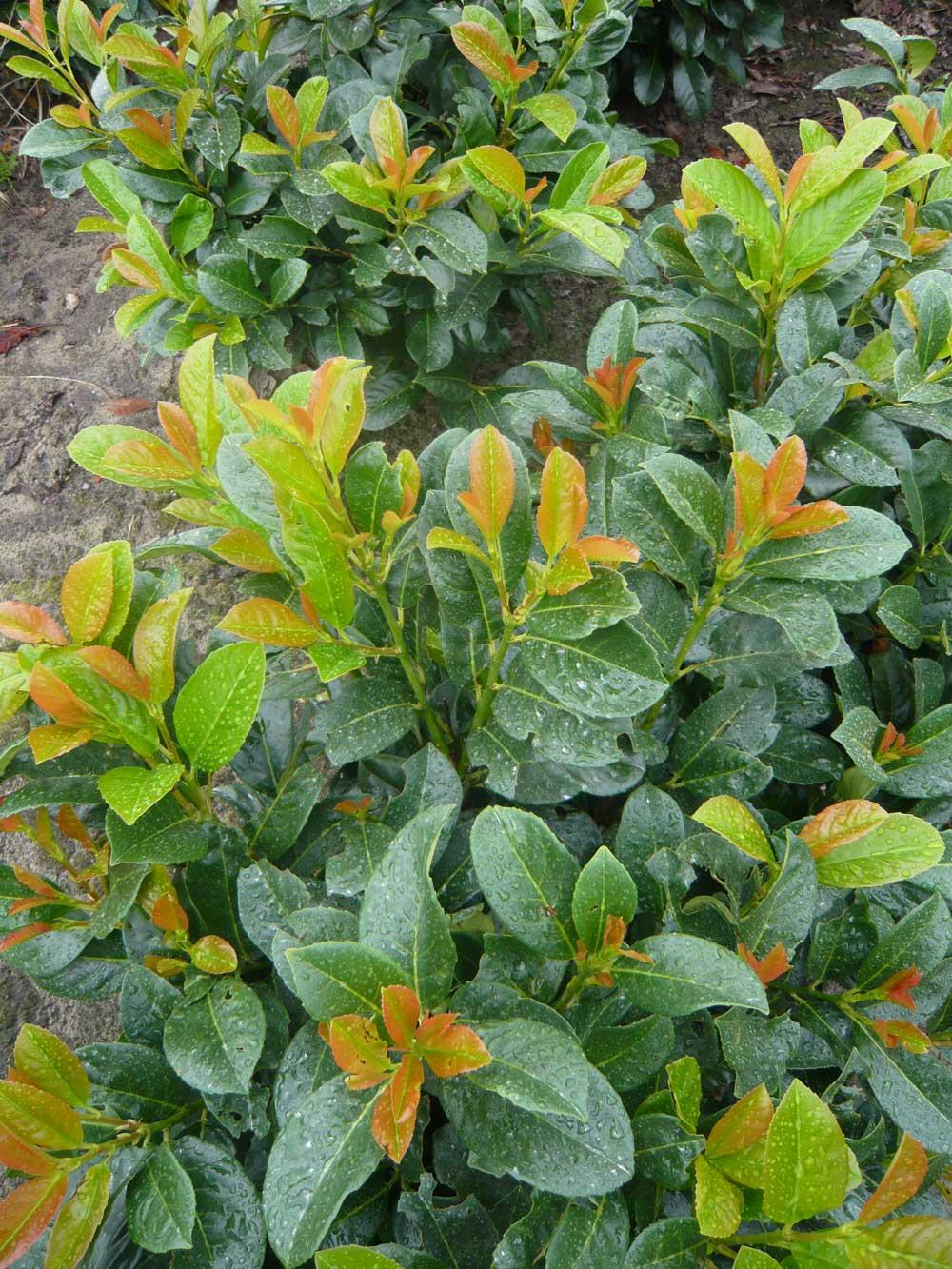Prunus L Etna Kirschlorbeer Gunstig In Top